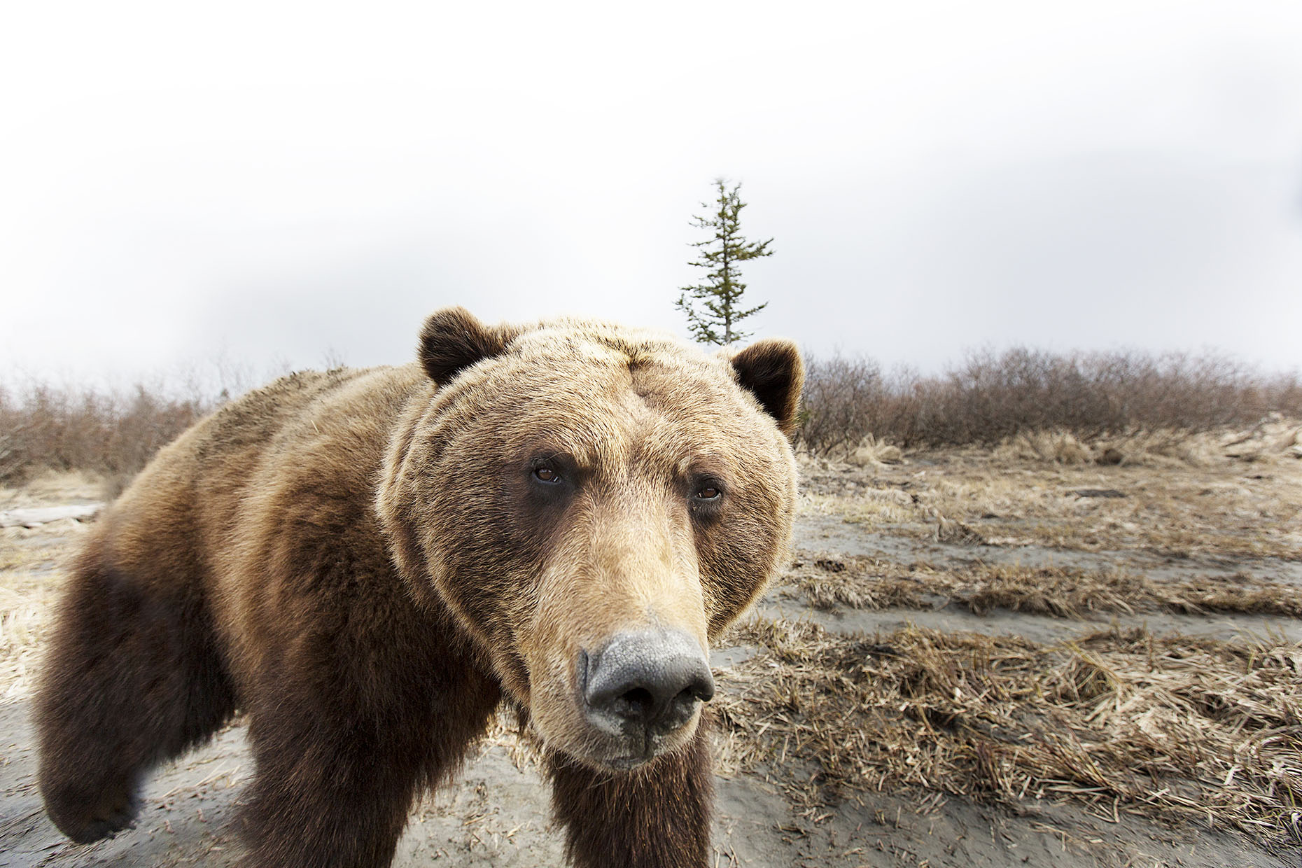 Grizzly bear unclose portrait by Boston based commercial portrait photographer Brian Nevins